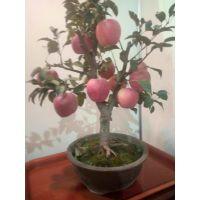 供应盆栽苹果苗 苹果苗盆景