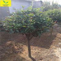 ¥高杆石楠球 1米-2米红叶石楠球 山东供应石楠苗 各种规格 量大优惠