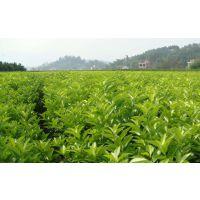 桂林好的蜜桔苗价格多少钱