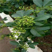 青花椒新品种-(藤椒),藤椒与其他青花椒的区别