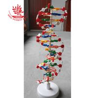 DNA遗传基因生物教学仪器模型