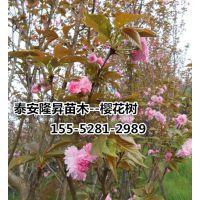 11公分高杆樱花价格