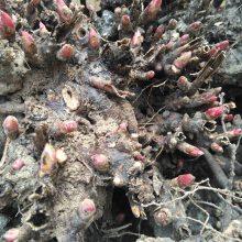优质芍药苗、白芍芽、白芍种苗批发基地