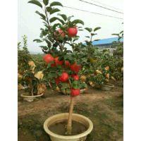 壹棵树 苹果树苗新品种 红肉苹果苗基地在哪 厂家价格