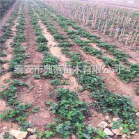 丰香草莓苗多少钱一棵 山东草莓苗基地丰香草莓苗