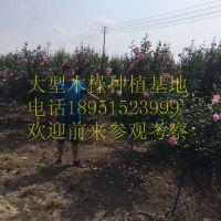 地径4公分木槿价格报价18元每棵木槿小苗多少钱一棵