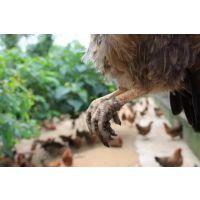 天农优品-清远国家清远麻鸡保种场|每天吃几个鸡蛋为宜