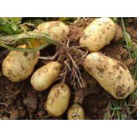 土豆供应神池 晋薯16号个大皮薄淀粉含量高营养丰富4两起步不封顶