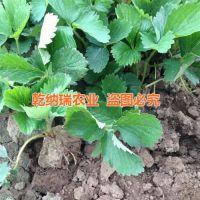 林芝红花草莓苗|乾纳瑞农业科技(图)|红花草莓苗价钱