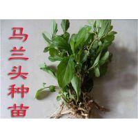 解毒、明目蔬菜—马兰头种苗