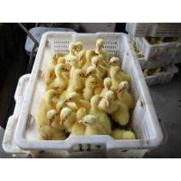 鹅苗,皖西鹅苗孵化厂,河南鹅苗价格,南阳鹅苗价格