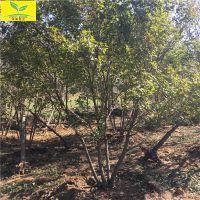 丛生五角枫 五分枝以上 两旁绿化树 规格齐全 带土球成活率高 欢迎来电选购