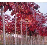 红叶白蜡是白蜡树属一个变种,为园林绿化乔木