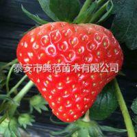 鲁旺草莓苗价格 鲁旺草莓苗产地批发