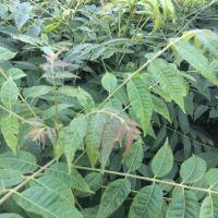 山东万亩丰茂直销批发香椿树 品种纯正可当年食用 产品种类齐全量大优惠 红油香椿 现起现卖