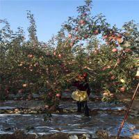 红富士苹果苗相关