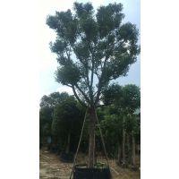 香樟25公分常绿乔木 园林苗木优良树厂家直发 移植小苗各种规格齐