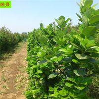 山东1.5米高北海道黄杨种植基地 1.8-2米黄杨苗价格 冠幅大 价格优惠