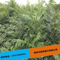 香椿树苗全国发售 免费提供种植技术 根系发达优质香椿树苗