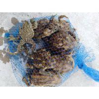 活蟾蜍 活体癞虾蟆一只价格大概是多少,通州蟾业