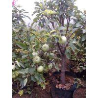 蜜脆苹果苗直销 价格优惠 成活率达99% 2年结果 壹棵树农业销售