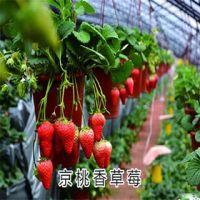 北京京桃香草莓苗基地 泰安瑞康苗木园艺场批发京桃香草莓苗