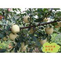 晚熟黄金新品种苹果苗 维纳斯黄金苹果苗