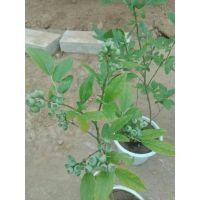 夏普蓝蓝莓苗今年报价 2年夏普蓝蓝莓苗价格