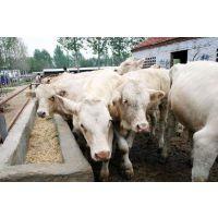 养殖夏洛莱牛的利润