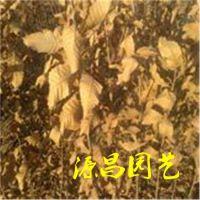 云南普洱卖板栗苗的批发市场在哪里 泰安源昌苗圃批发