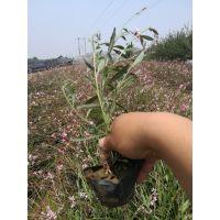 青州市山桃草种植基地农户价格