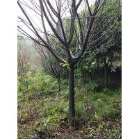 成都万亩樱花基地直销5-15公分高杆樱花低价格树型优美