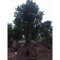 海南米径10公分仁面子地苗种植技术,仁面子哪里有货园公园绿化