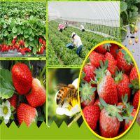 丰香草莓苗哪里有 西藏草莓苗品种 求购适合新疆种植的草莓苗