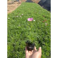波斯菊种植基地波斯菊多少钱