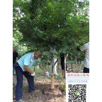 浙江地区地径8公分红枫价格报价350元每棵