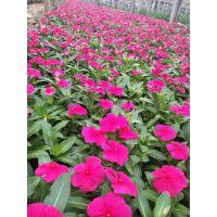 花卉批发采购;青州花卉批发市场,租摆常用草花长春花种植基地