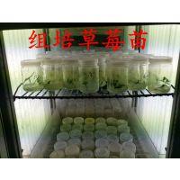 现代农业供应脱毒草莓苗 组培草莓苗 签订合同 保证品种