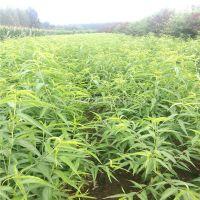 批发桃树实生苗价格 种植桃树实生苗基地