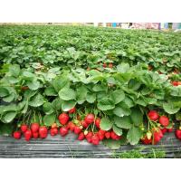 供应优质塞娃草莓苗 产量高的草莓苗