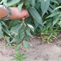 信森农业科技嫁接满枝红油桃苗价格 早熟油桃苗价格 质优价廉