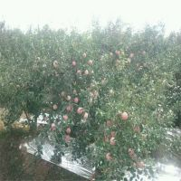 红富士苹果苗护理