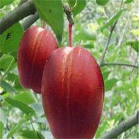 早红香酥梨树苗多少钱一棵 红梨树苗价格怎么样 早酥红梨哪里有卖 找泰安恒源园艺场