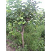 4公分桑葚树价格!5公分桑葚树多少钱?山西哪里有4公分桑葚树卖?