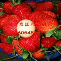 草莓苗基地 章姬草莓苗价格