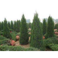 江苏塔松基地提供1米2米3米塔松树苗 欢迎来电咨询