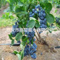 喜来蓝莓苗 喜来蓝莓苗价格 优质丰产价格实惠