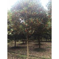 成都高杆金桂基地温江金桂6-12公分低价格货源充足一手货源10公分出售树型优美