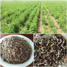 中药白术种子一亩地种植多少公斤种子