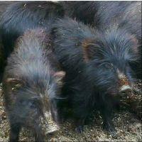 九江春宝农业有限公司藏香猪养殖园基地,引进西藏林芝纯种藏香猪